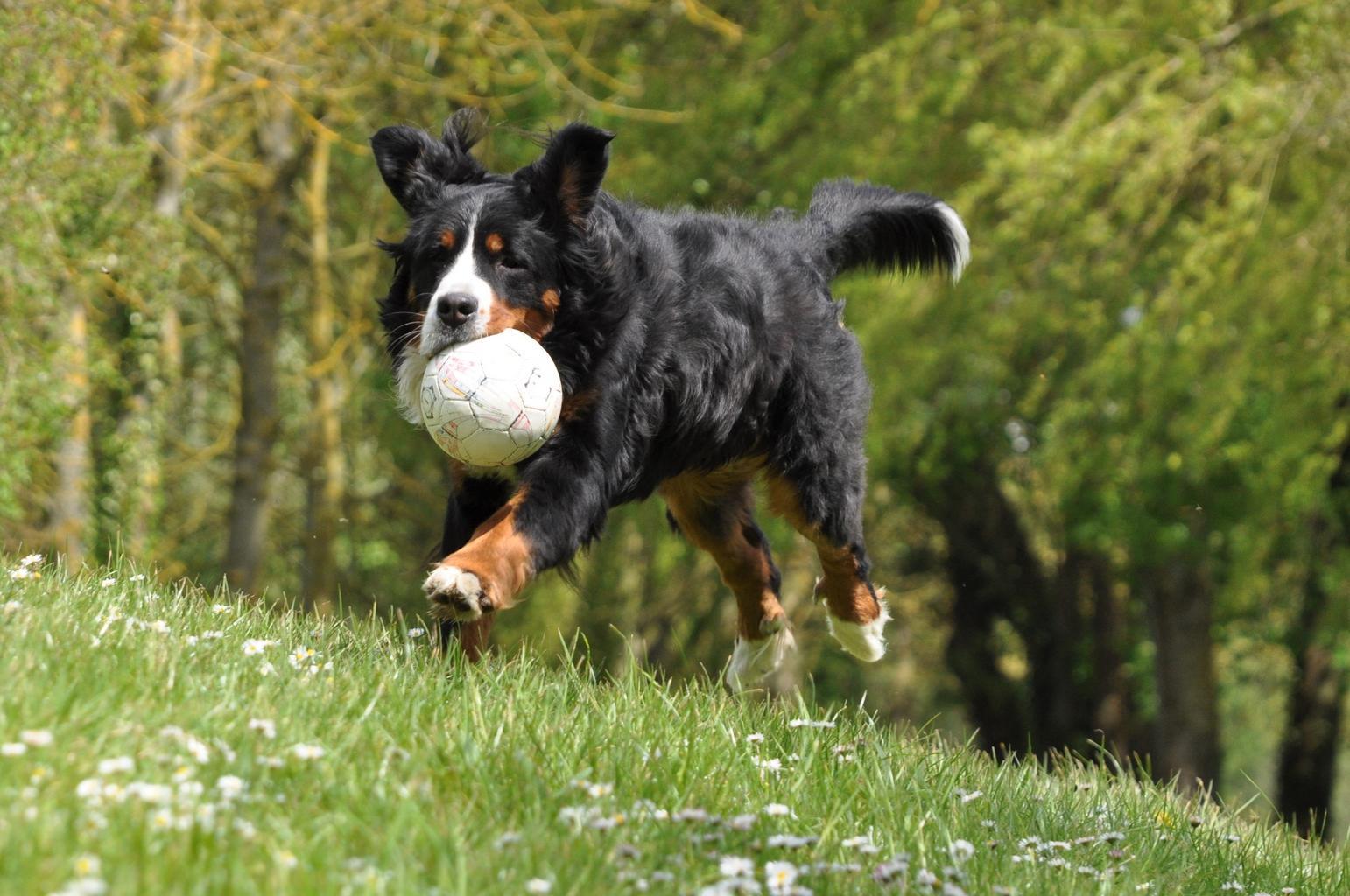 pes s míčem